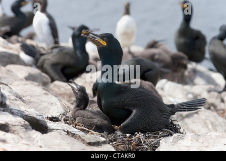 European Shag Phalacrocorax aristotelis adult a nest with chick - Stock Photo
