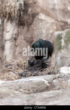 European Shag Phalacrocorax aristotelis adult at nest feeding chick - Stock Photo