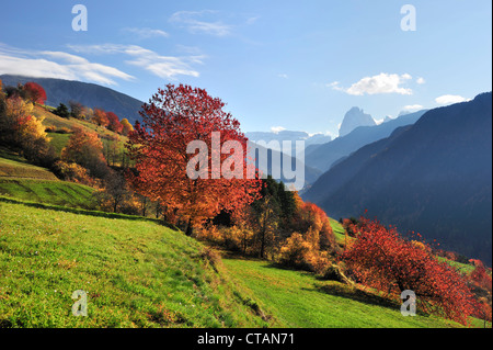 Fruit trees in autumn colours with Sella range and Langkofel range in background, valley of Groeden, Dolomites, - Stock Photo