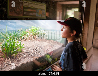 8 year old Mexican-American boy peaks into glass enclosure with rattlesnake at the San Antonio Texas Zoo. - Stock Photo