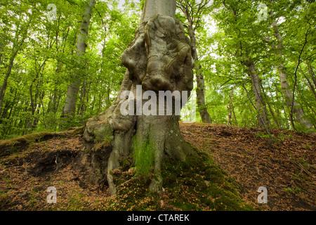 Trunk of a beech at Jasmund National Park, Ruegen island, Baltic Sea, Mecklenburg-West Pomerania, Germany, Europe - Stock Photo