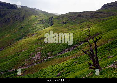 Old dead tree on a hillside near Langdale in the Lake District National Park, Cumbria, England. - Stock Photo