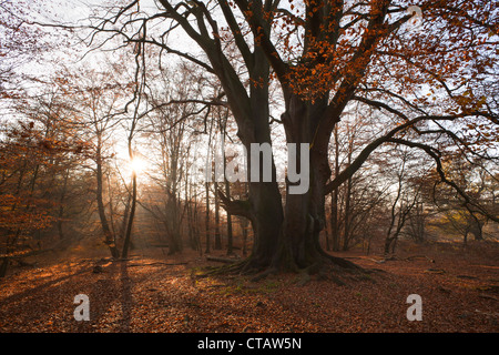 Autumnal forest with old beech tree at nature reserve Urwald Sababurg, Reinhardswald, Hesse, Germany, Europe - Stock Photo