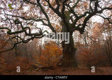 Autumnal forest with old oak tree at nature reserve Urwald Sababurg, Reinhardswald, Hesse, Germany, Europe - Stock Photo