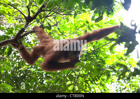 Orang Utan at the Gunung Leuser National Park near Bukit Lawang, Island of Sumatra, Indonesia, Southeast Asia - Stock Photo