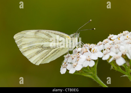 Green-veined White Pieris napi female perched on Yarrow at Barkbooth Lot, Cumbria in July. - Stock Photo