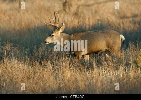 Mule Deer buck walking through grassy field in autumn, New Mexico - Stock Photo