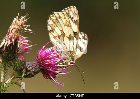 Marbled White butterfly in Bentley Wood - Stock Photo