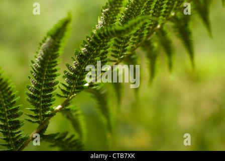 Close up of Bracken spores, Pteridium, Common bracken, Pteridium aquilinum on a bracken frond. - Stock Photo