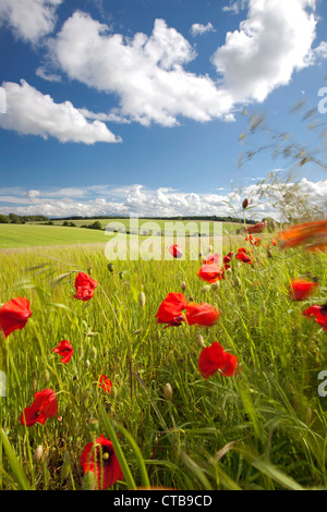 Poppies swaying in the breeze on the edge of barley field, the Cotswolds, Gloucestershire, England, UK - Stock Photo
