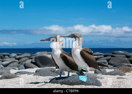 A pair of Blue-footed Boobies (Sula nebouxii) on a beautiful beach on North Seymour Island, Galapagos Islands, Ecuador. - Stock Photo