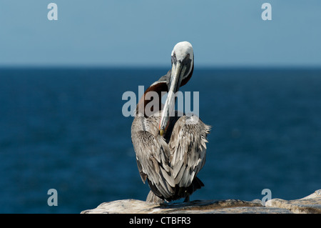A Brown Pelican (Pelecanus occidentalis) perched at the ocean's edge, on South Plaza Island, Galapagos Islands, - Stock Photo