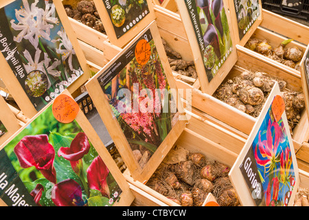 Bulbs for sale at flower market - Stock Photo
