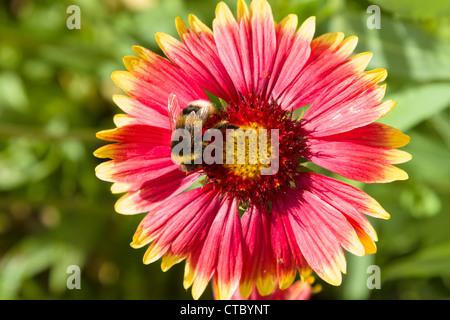 Gazania flower and bumble bee - Stock Photo