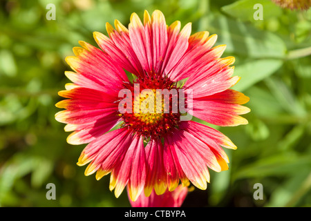 Gazania flower - Stock Photo