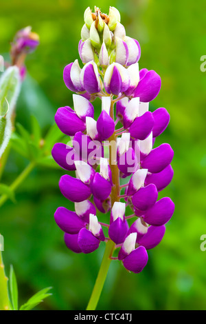 macro shot of snapdragon flower ( Antirrhinum) - Stock Photo
