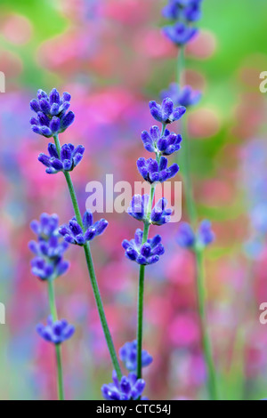 Lavender flower field, macro with soft focus - Stock Photo
