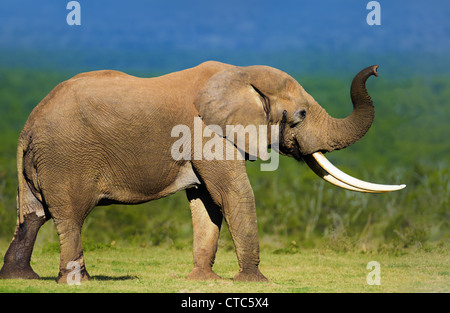 Elephant with large tusks smelling the air - Addo National Park - South Africa - Stock Photo