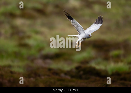 Male hen harrier in flight - Stock Photo