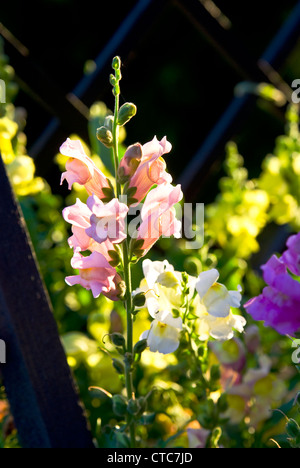 Blooming flowers pink and purple snapdragons . Green meadow full of flower - Stock Photo