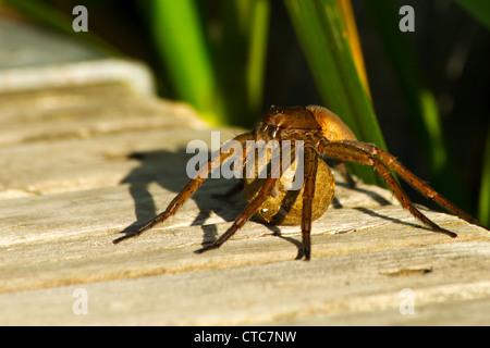 Fen Raft spider - Dolomedes plantarius, on a bridge, carrying an egg sac. - Stock Photo