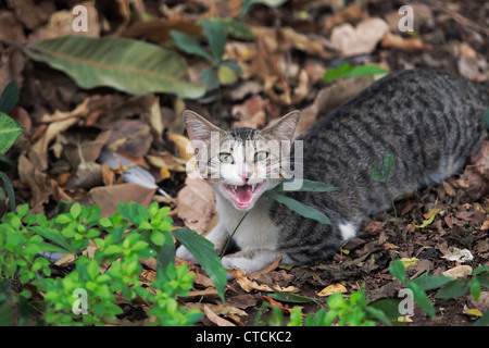 A domestic cat looking angrily at the camera . - Stock Photo