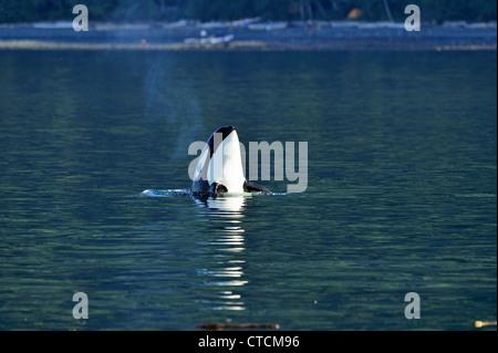 Killer whale (Orcinus orca) Spy-hopping Resident pod summer salmon feeding territory, Johnstone Strait, Vancouver - Stock Photo