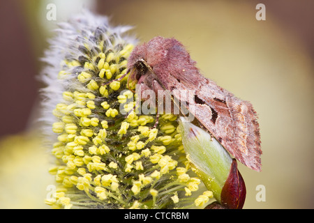 Hebrew Character moth, Orthosia gothica on willow catkin - Stock Photo