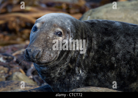 Grey Seal, Halichoerus grypus, close-up of bull seal on rocky shore - Stock Photo