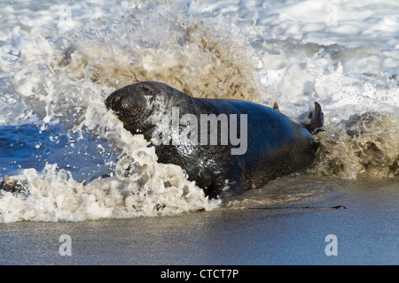 Bull Grey Seal, Halichoerus grypus, emerging from the sea - Stock Photo
