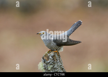 Common Cuckoo, Cuculus canorus - Stock Photo