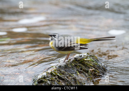 Male Grey Wagtail, Motacilla cinerea beside upland river - Stock Photo