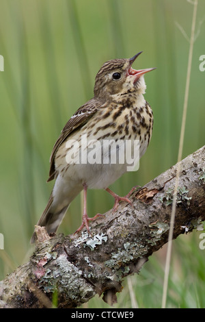 Tree Pipit, Anthus trivialis singing from perch - Stock Photo