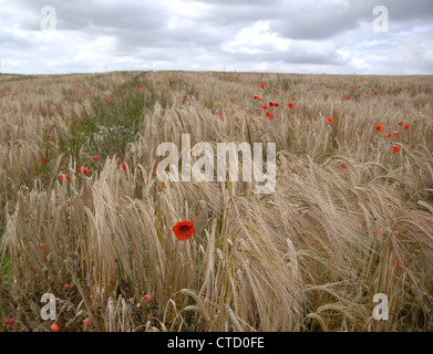 Papaver Rhoeas, Field Poppy - Stock Photo