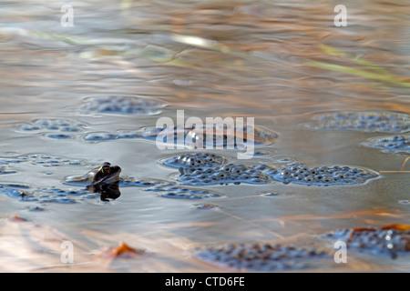Moor frog with spawn / Rana arvalis - Stock Photo