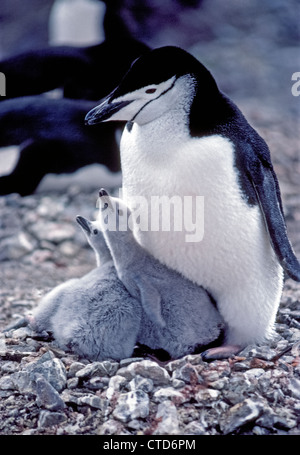 A Chinstrap Penguin takes care of her two juvenile chicks in a rocky nest  on Nelson Island, one of the South Shetland - Stock Photo
