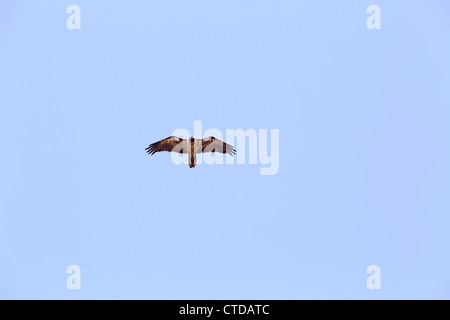 Lammergeier; Gypaetus barbatus; in flight; Pyrenees; Spain - Stock Photo