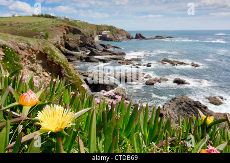 Lizard Point; Hottentot fig in flower; Cornwall; UK - Stock Photo