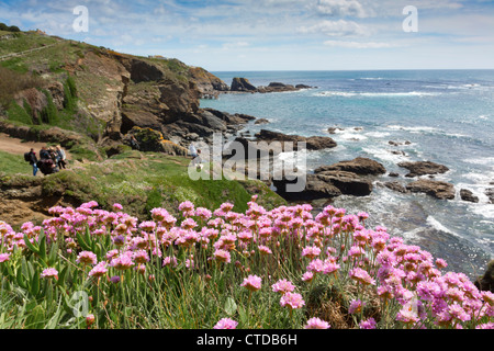 Lizard Point; Thrift in flower; Cornwall; UK - Stock Photo