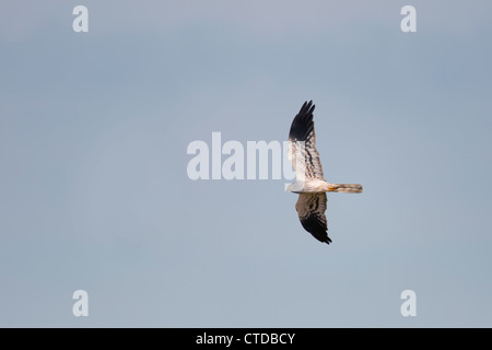 Montagu's Harrier; Circus pygargus; male; Spain; in flight - Stock Photo