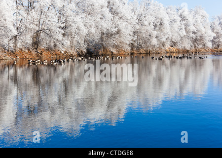 Geese rest along the South Platte River in Denver, Colorado on a frosty cold winter morning. Stock Photo