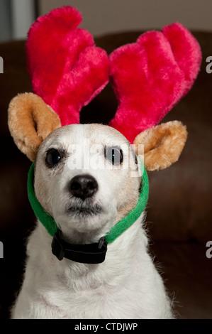 Jack Rrussell Terrier wearing Reindeer ears interior sitting. - Stock Photo