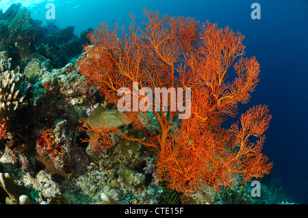 Seafan in Coral Reef, Melithaea sp., Bunaken, North Sulawesi, Indonesia - Stock Photo