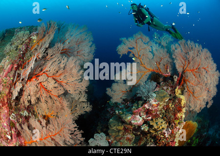 Scuba diver and Giant Sea Fans, Melithaea sp., Similan Islands, Thailand - Stock Photo