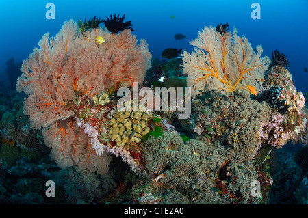 Seafan in Coral Reef, Melithaea sp., Similan Islands, Thailand - Stock Photo