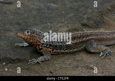 A Galapagos Lava Lizard (Microlophus albemarlensis) basks on a volcanic rock on Santiago, in the Galapagos Islands, - Stock Photo