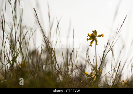 Cowslip, Primula veris, in flower - Stock Photo