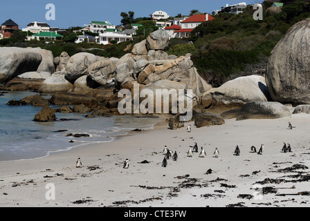 African Penguin (Spheniscus demersus) colony at Boulders Beach, near Simon's Town, Table Mountain National Park, - Stock Photo