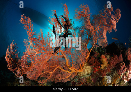 Seafan in Coral Reef, Melithaea sp., Alor, Indonesia - Stock Photo
