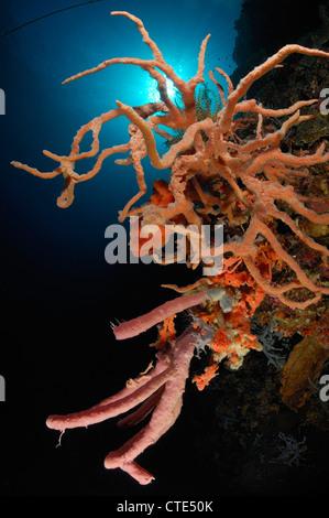 Sponge Colony on Coral Reef, Porifera, Alor, Indonesia - Stock Photo